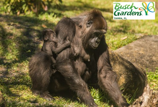 See baby animals at Busch Gardens in Tampa