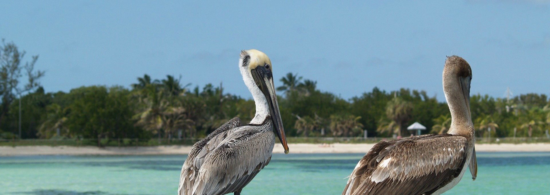 Things To Do In Key West Pelicans