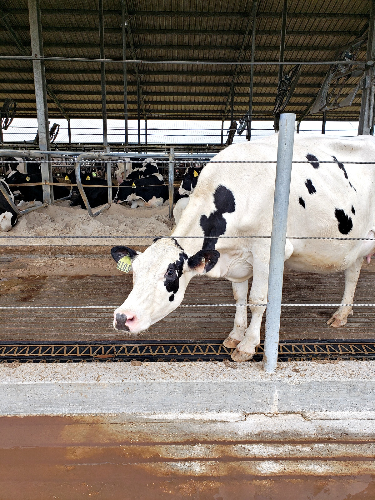 Where Does Milk Come From? Pregnant Cow