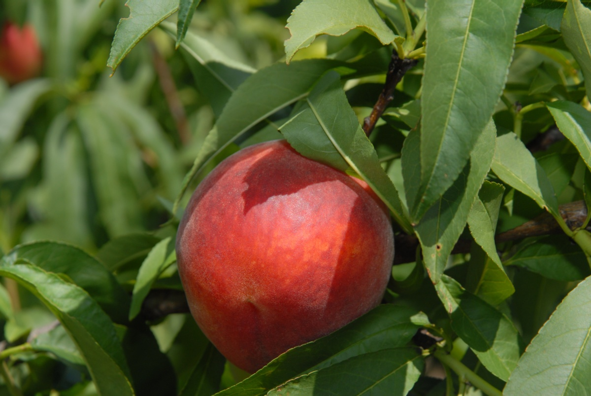 Must Try Florida Peach Recipes