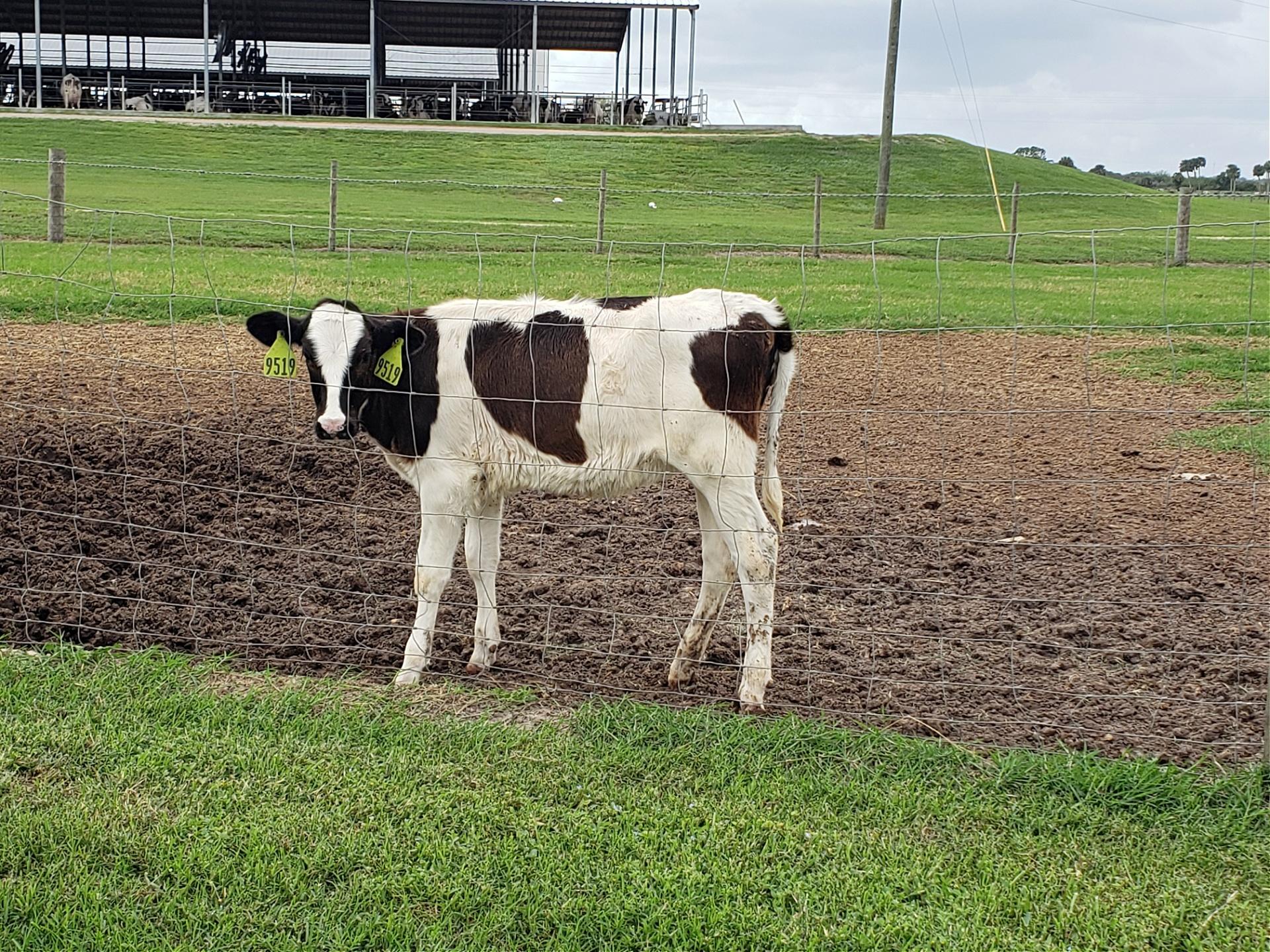 Florida Dairy Faming sustainability information